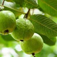 HIDDEN BENEFITS OF GUAVA LEAVES THAT NEED TO BE KNOWN